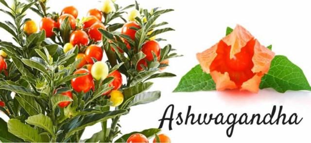 ashwagandha-indyjski-zen-szen