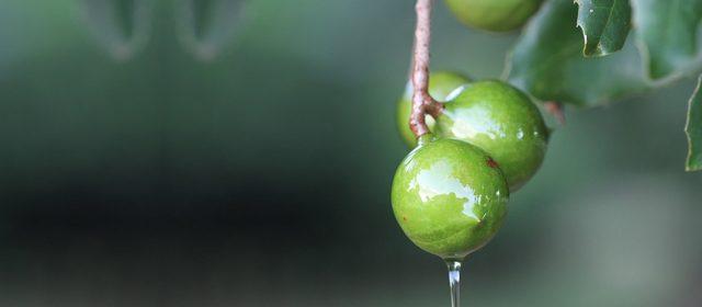 drzewo-makadamia
