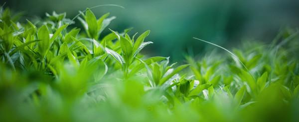 zdjęcie mięty roślina