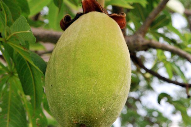 owoce-baobabu
