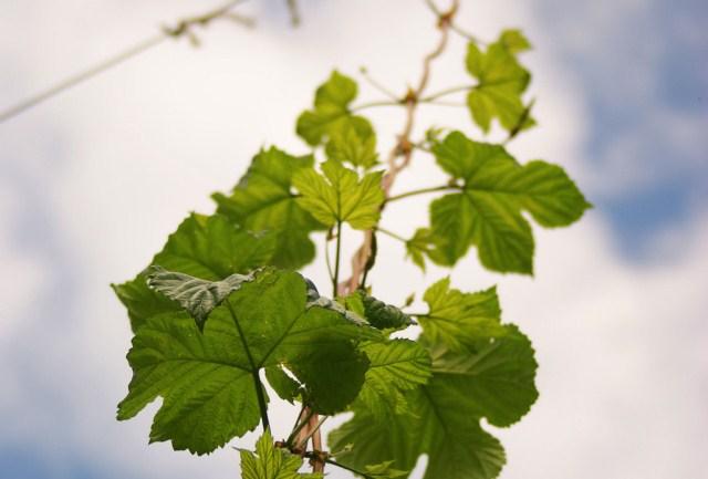 liście-borówki-czernicy