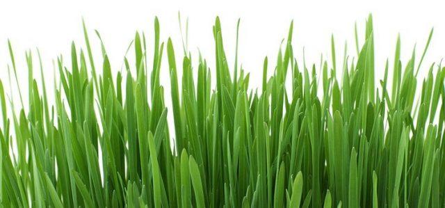 trawa-cytrynowa