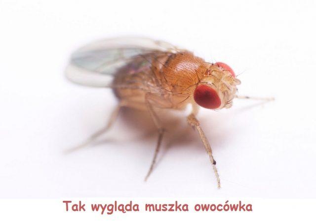 muszka-owocowka