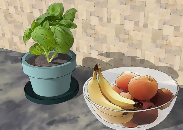 swieza-bazylia-na-muszki-owocowki