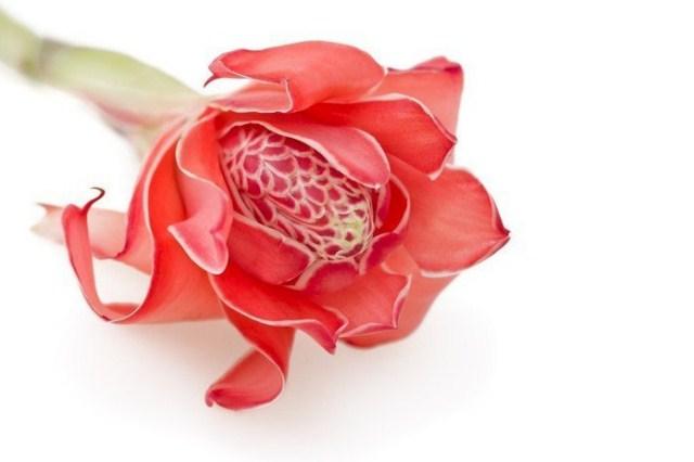 kwiat-imbiru